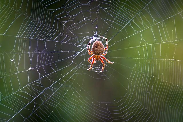 Spider, Web, Macro, Arachnid