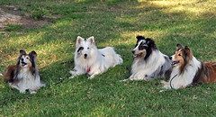 Camp Wanna Q Shelties