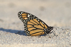Monarch Butterfly, Dead Horse Bay