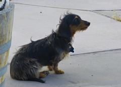 australian silky terrier(0.0), australian terrier(0.0), yorkshire terrier(0.0), dog breed(1.0), animal(1.0), dog(1.0), pet(1.0), vulnerable native breeds(1.0), carnivoran(1.0), terrier(1.0),