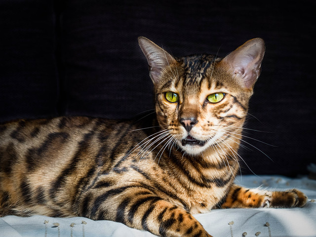 A Bengal Cats Personality Bengal Cat Pictures an...