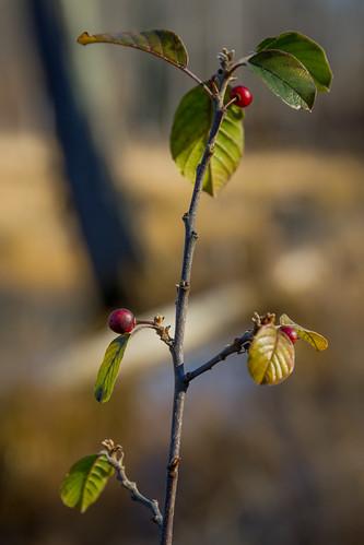 2016 mndnr millelacskathiostatepark november minnesota nannyberry viburnum lentago
