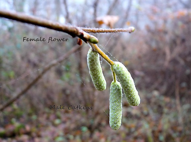 Hazel catkins - EXPLORED, Panasonic DMC-FZ28