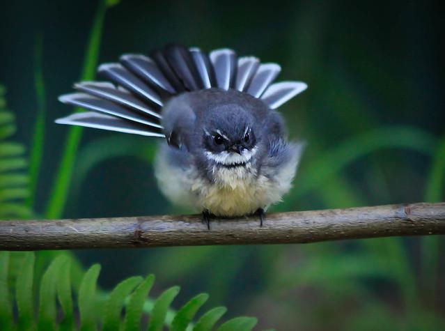 Little Grey Fantail