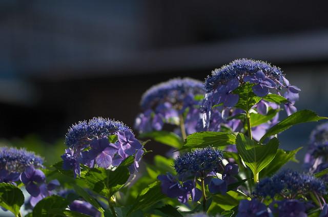 東京路地裏散歩 谷中の紫陽花 2014年6月15日
