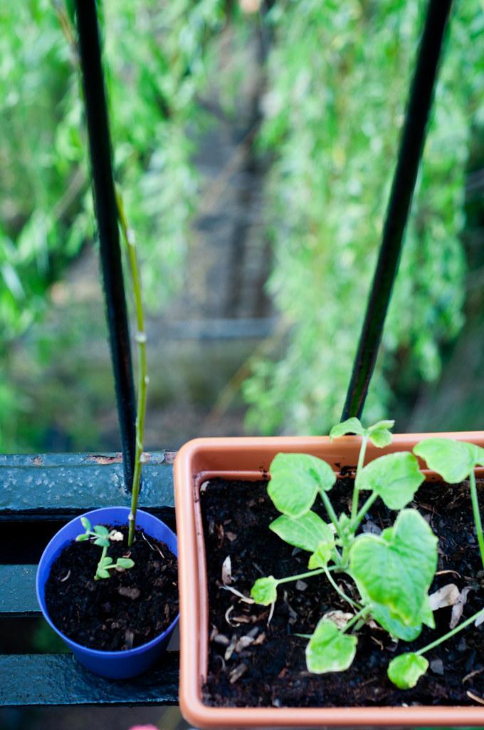 Seedlings - Squash and pea