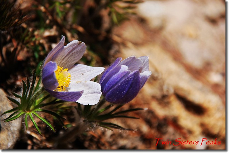 Pasque Flower 4