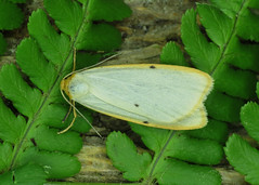 2040 Four-dotted Footman - Cybosia mesomella