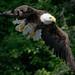 Bald Eagle, Echo Lake by Bergersoft