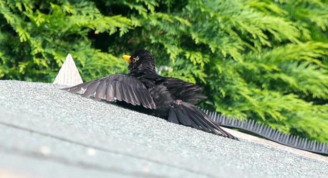 Blackbird IMG_1550
