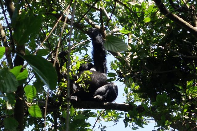140625 Gorilla Silverback (4)