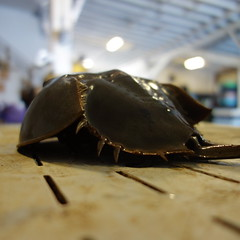 Horseshoe Crab At The Dock- Prehistoric