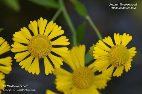 Autumn Sneezeweed - Helenium autumnale