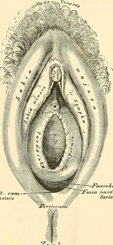 Image From Page 981 Of Anatomy Descriptive And Surgical 1887
