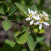 Small photo of Serviceberry - Amelanchier alnifolia