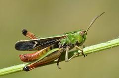 Stenobothrus lineatus male