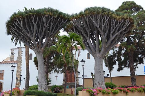 Los Gemelos, Drago Trees, Los Realejos, Tenerife