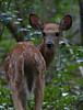young of year, white tail deer