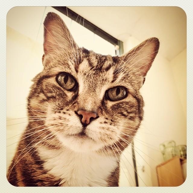 """""""Oh Hai, Are You Awake Yet?"""" #Chestercat #cat #tabby"""