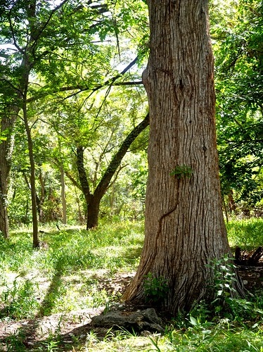 trees landscape texas walnut sycamore liveoak cypress pecan hillcountry elm juniper mulberry wimberley postoak creekside floodplain cypresscreek