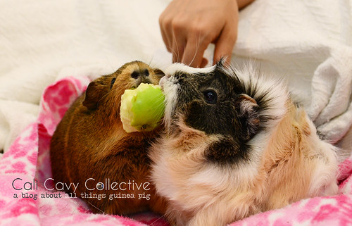 Guinea pigs Belka and Poof love to eat apple