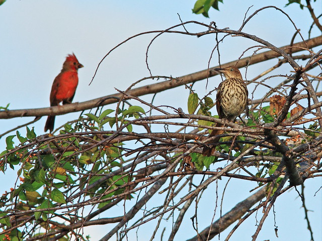 Brown Thrasher and Northern Cardinal on Trema 20140901