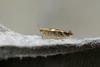 Bronze Alder Moth (Argyresthia goedartella), Farway, Devon, UK