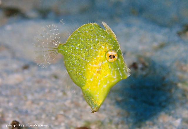 アオサハギ幼魚