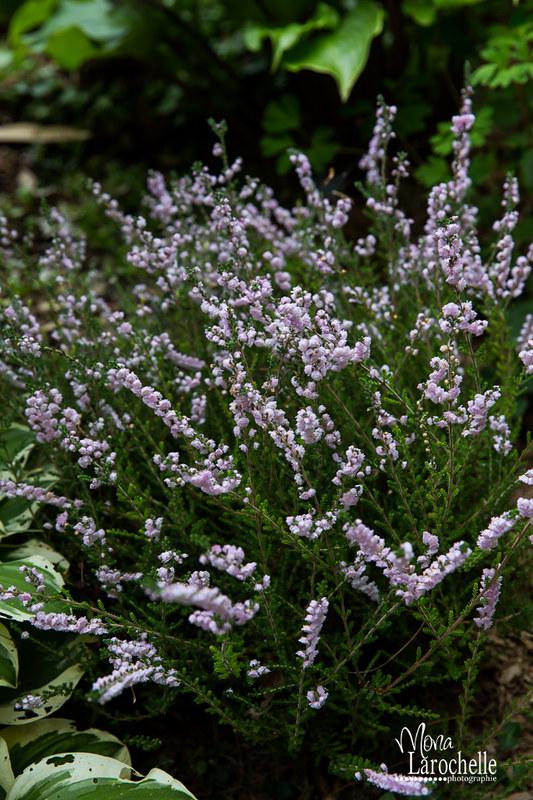 Calluna vulgaris H.E.Beale 15019804100_8df6fdb5aa_c