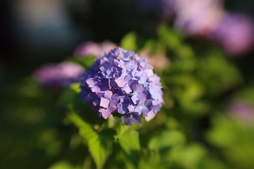 lensbaby hydrangea hortensie hortenzija canoneos6d composerprowithdoubleglassoptic