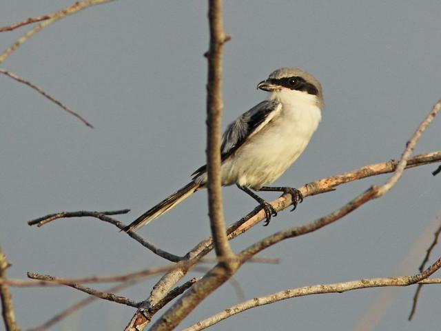 Loggerhead Shrike 2-20140901