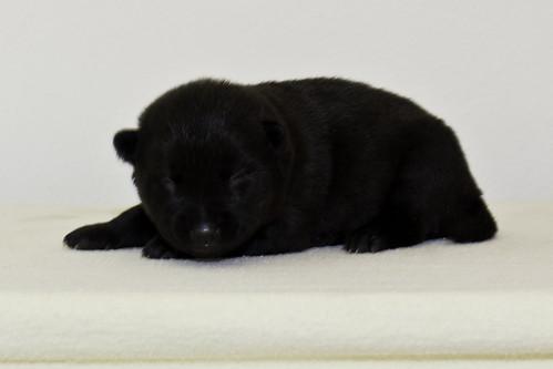 Nori-Litter2-10Days-Puppy6(female)c