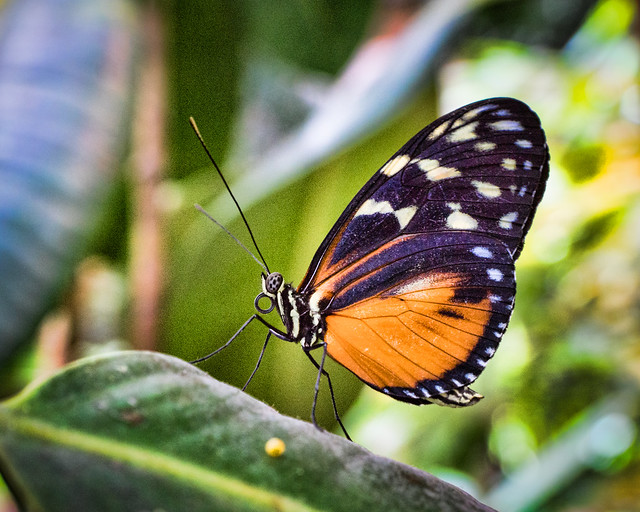 Orange Adorned Butterfly