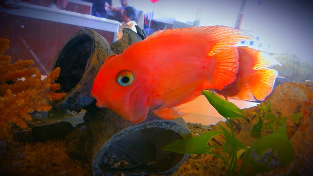 Goldfish at MacDonald's IMAG1343_1