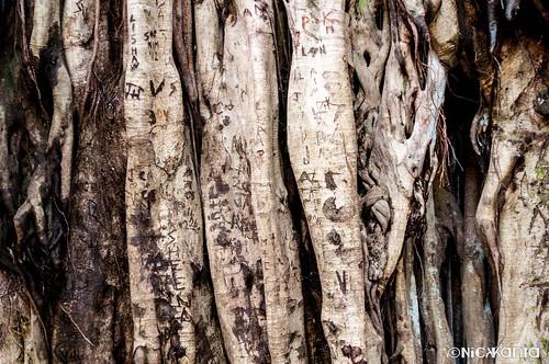 color tree hawaii nikon maui trail haleakala banyan banyantree haleakalanationalpark hawaiianislands d90 outdoorphotography tamron1750 pīpīwaitrail