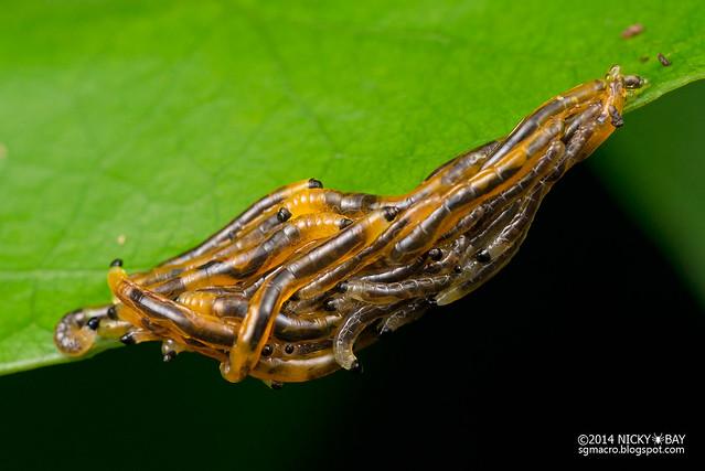 Fungus gnat larvae (Sciaridae) - DSC_4120
