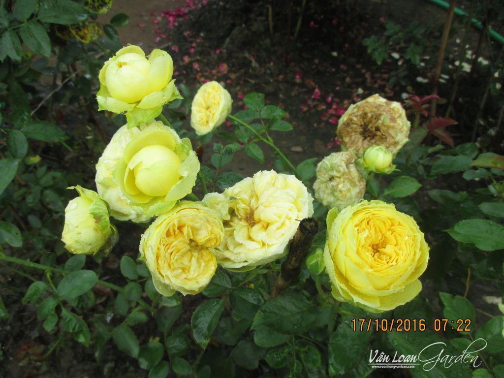 Hoa hồng Catalina Rose vàng chanh
