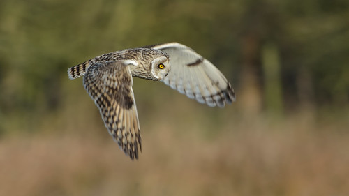 Short-eared Owl (image 2 of 4)