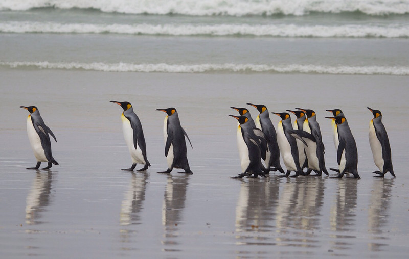 King penguins walking on the beach at volunteer point.