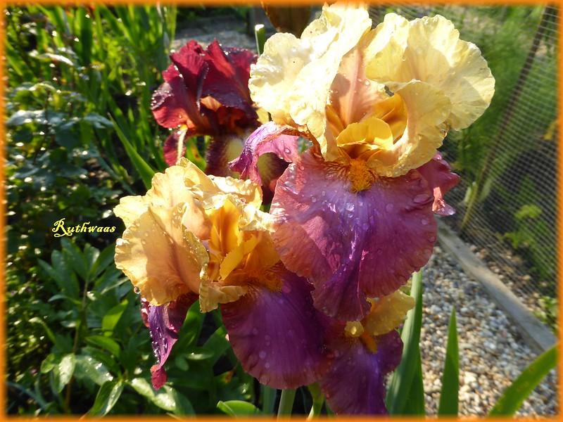 P1010270-2 Iris