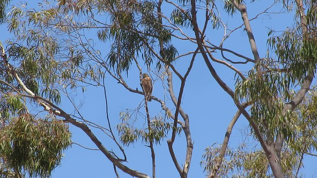 MVI_0631 red tailed hawk vs crow