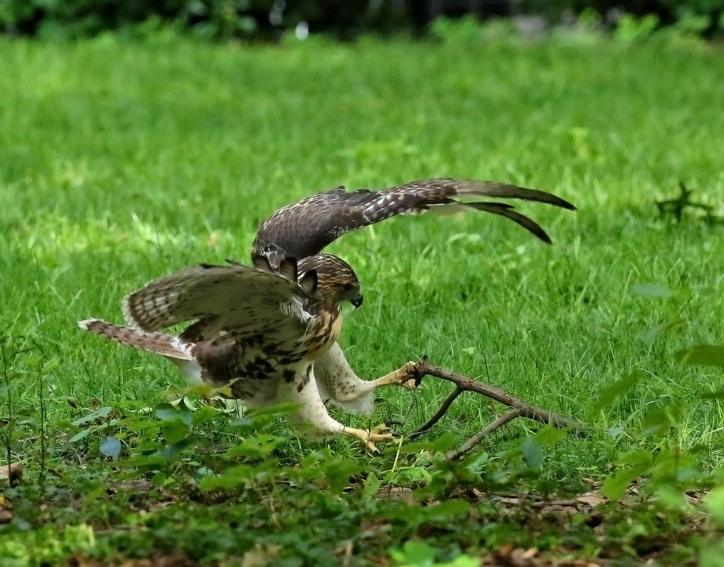 Juvenile red tail playing with a branch