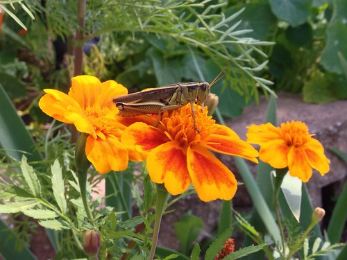 Grasshopper on Tagetes