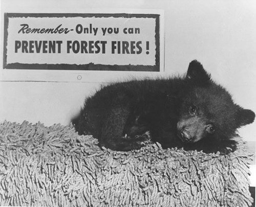 Smokey Bear began as a drawing, but the plight of a bear cub on the Lincoln National Forest brought the campaign to life. The cub, alone and burned from 1950 fire on the Capitan Mountains in New Mexico, was rehabilitated and later taken to the National Zoo in Washington, D.C. (U.S. Forest Service archives)