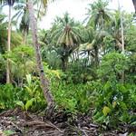 Yap coastal agroforest