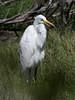 P2300266.jpg Great Egret