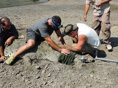 Auburn graduate student Chris Murray collects a blood sample while collaborator and field technician Mike Easter and Palo Verde Biological Research Center program director Mahmood Sasa, secure the crocodile.
