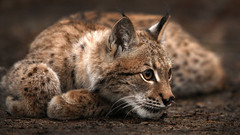 animal, small to medium-sized cats, mammal, lynx, fauna, close-up, cat, rusty-spotted cat, wild cat, whiskers, bobcat, wildlife,