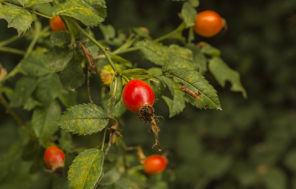 rose hips wild, Northern Plains Indians
