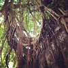 Tree roots overtaking a retaining wall. #hongkong #travel